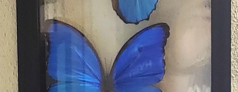 Butterflies – Blue Morpho